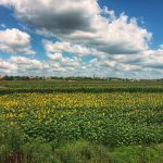 sunflowers in Serbia